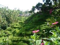 Beaux gisements de riz de Tegalalang, Bali, Indonésie Photos libres de droits
