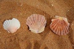 Beaux, grands coquillages sur les porches atlantiques de côte, Portugal Photo libre de droits