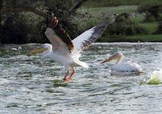 Beaux grands pélicans blancs effectuant le vol au lac Naivasha, Kenya Images stock