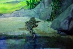Beaux grands rampements de crocodile photographie stock libre de droits