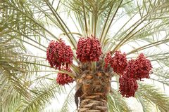 Beaux groupes de dates rouges Photo libre de droits