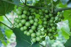 Beaux groupes de raisins images stock