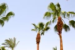 Beaux hauts palmiers du sud tropicaux verts luxuriants avec de longs troncs et branches et feuilles luxuriantes contre le ciel bl Image stock