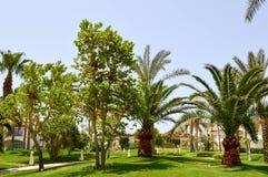 Beaux hauts palmiers du sud tropicaux verts luxuriants avec de longs troncs et branches et feuilles luxuriantes sur un fond de ve Photographie stock libre de droits