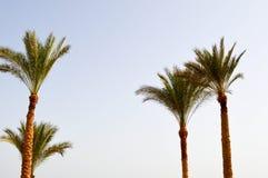 Beaux hauts palmiers du sud tropicaux verts luxuriants avec les branches et les feuilles luxuriantes Le fond Image libre de droits