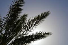 Beaux hauts palmiers du sud tropicaux verts luxuriants avec longtemps et branches et feuilles luxuriantes contre le contexte de l Images stock