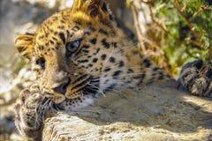 Beaux hurlements de léopard images libres de droits