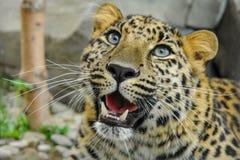Beaux hurlements de léopard photographie stock libre de droits
