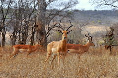 Beaux impalas mâles Photo libre de droits
