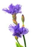 beaux iris Photo libre de droits
