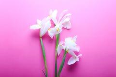 Beaux iris sur le fond rose Image stock