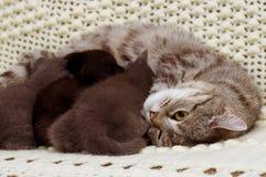 Beaux jeunes chats écossais Images stock