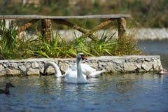 Beaux jeunes cygnes dans le lac Images stock