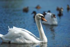 Beaux jeunes cygnes dans le lac Photo stock