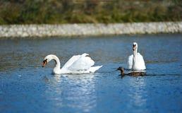 Beaux jeunes cygnes dans le lac Photos stock
