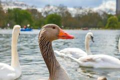 Beaux jeunes cygnes dans le lac Photo libre de droits