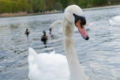 Beaux jeunes cygnes dans le lac Images libres de droits