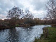 Beaux jeunes cygnes de famille de cygnes d'automne de pays de lac nageant le floa Images libres de droits