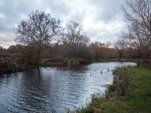 Beaux jeunes cygnes de famille de cygnes d'automne de pays de lac nageant le floa Photos stock