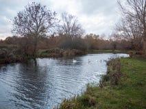 Beaux jeunes cygnes de famille de cygnes d'automne de pays de lac nageant le floa Images stock