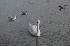 Beaux jeunes cygnes sur le rivage photo stock