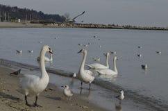 Beaux jeunes cygnes sur le rivage photographie stock