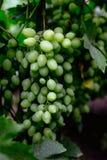 Beaux jeunes raisins non mûrs à l'été Image libre de droits