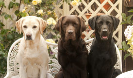 Beaux labradors Images stock