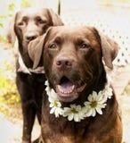 Beaux labradors Image libre de droits