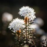 Beaux labradors d'un marais s'élevant dans l'habitat naturel de marais Paysage de marécage avec la fleur de ressort Photo stock
