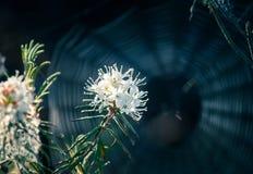 Beaux labradors d'un marais s'élevant dans l'habitat naturel de marais Paysage de marécage avec la fleur de ressort Images stock
