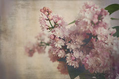 Beaux lilas pourpres et blancs images stock