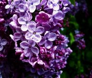 Beaux lilas pourpres humides en mi-fleur une journée de printemps pluvieuse Photos stock