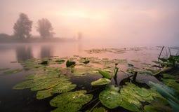 Beaux lis sur un lac Photographie stock