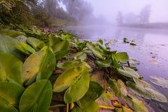 Beaux lis sur un lac Photo libre de droits
