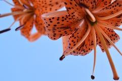 Beaux lis tigrés fleurissant dans le jardin sur le fond de ciel bleu, vue inférieure Images stock