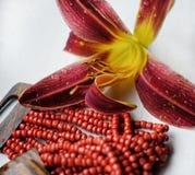 beaux milieux blancs en gros plan de couleur rouge de fleur Images stock