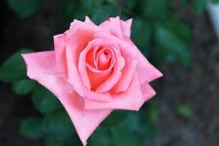 Beaux milieux roses de fleur Photographie stock libre de droits