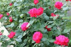 Beaux milieux roses de fleur Photos stock