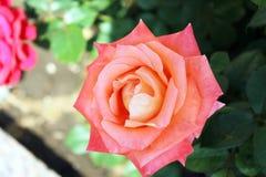 Beaux milieux roses de fleur Photos libres de droits