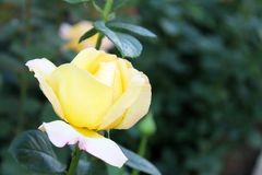 Beaux milieux roses de fleur Images stock
