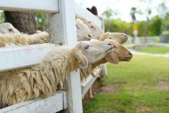 Beaux moutons Photos stock