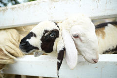 Beaux moutons Photo libre de droits