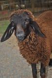 Beaux moutons de Brown Photos stock