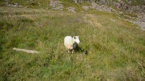 Beaux moutons mous blancs dehors sur le champ d'été à côté des mers ouvertes en brise d'été, Norvège du nord banque de vidéos