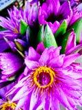 Beaux nénuphars roses frais Photographie stock libre de droits