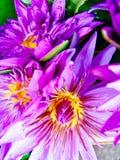 Beaux nénuphars roses frais Image stock
