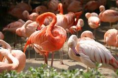 Beaux oiseaux de flamant photographie stock