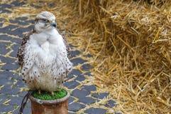 Beaux oiseaux de proie blancs Photos libres de droits