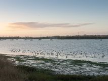 Beaux oiseaux sur des pluviers d'eseex de marais de sel alimentant le Ba de paysage Photos stock